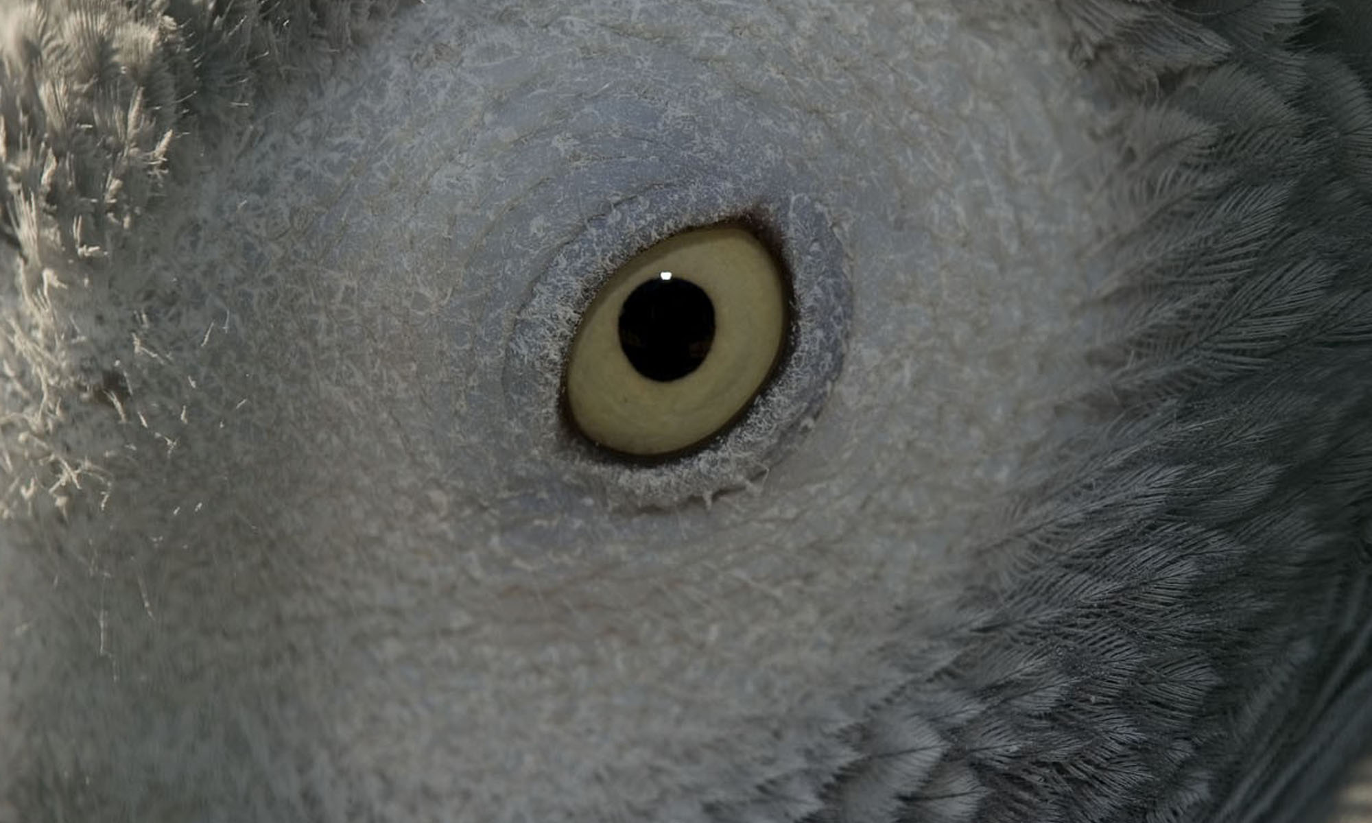 Ojo de yaco africano